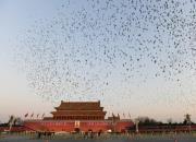 媒体报道元旦天安门升旗:一万羽和平鸽从哪来?