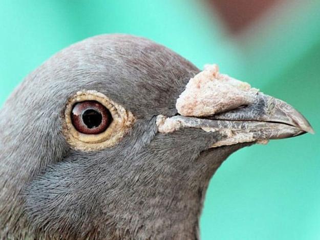 好鸽不一定有好眼 好眼与好鸽无关联