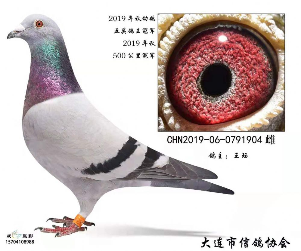 大羽数高分速 大连市2019年冠军鸽品鉴
