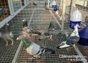 百科长知识:赛鸽种养训赛一条龙攻略