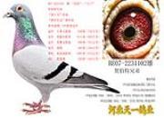 """每日一鸽:三次联省冠军的贺伯特兄弟""""卡门"""""""