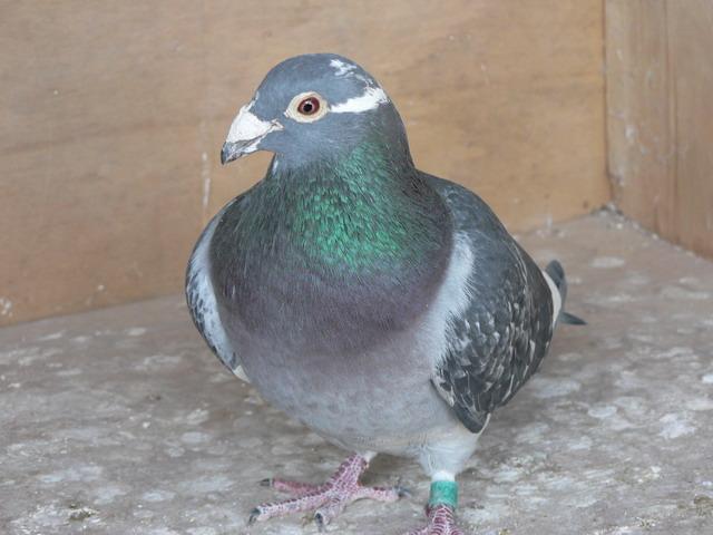 鸽子如衣服 养鸽需量体裁衣