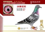 沾福气!看看那些征服云贵川赛线的战鸽