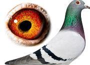"""每日一鸽:倚天梅尔浪的顶级种雌""""伊莲娜"""""""