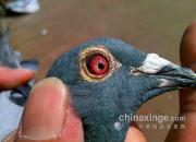 鸽眼能识鸽乎?