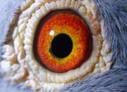 鸽眼探秘:有人能看出冠军!你能看到什么?