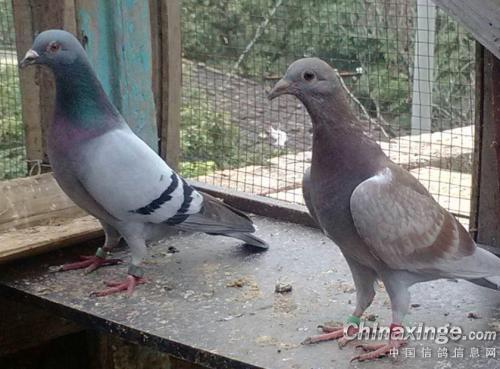 也谈血统:育翔才是检验赛鸽的唯一标准