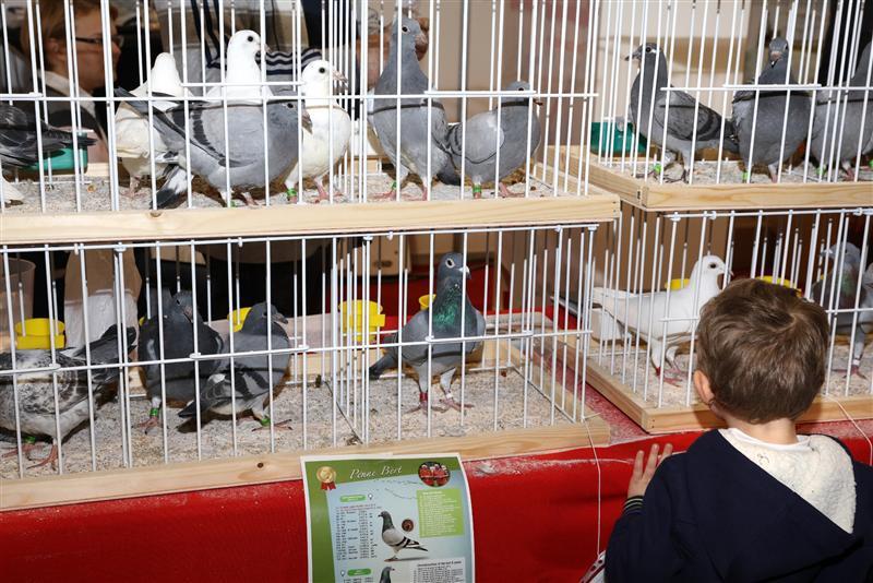 比利时国际鸽展现场 欧洲名家云集