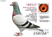 """每日一鸽:眼砂不合配作出的""""兆尊宝马"""""""