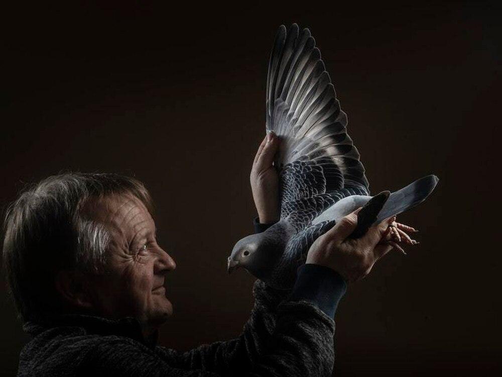 高清视角:英国第48届国际鸽展 数千羽信鸽展览