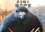 优秀种鸽如何快速作育两窝?