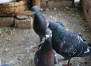 搬家换房不下5次 但鸽子必养