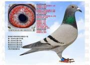 这是高手!摸鸽超三万羽 挑鸽准确率95%