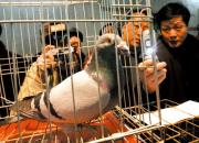 内蒙古这场信鸽比赛 为啥迟迟不给兑现奖金?