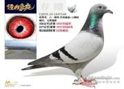 引种好时机!云南豪庭名家奖鸽拍卖会来了