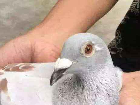 教您几招助爱鸽药到病除