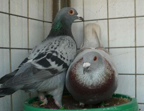 你知道玩信鸽玩的是什么?