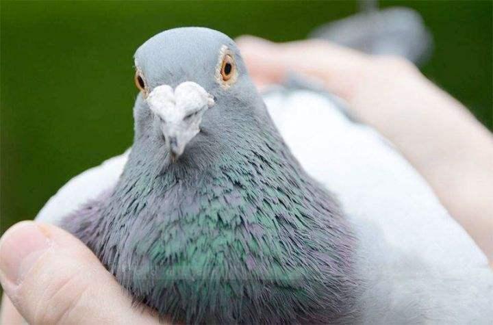 """王伟克:就谈""""冠军鸽为何不遗传"""""""