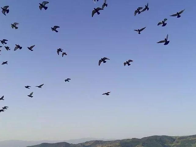 做好这四件事 帮你解决信鸽乱落的问题