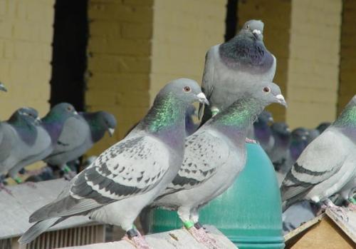 三次起棚鸽友:培养亲和力杠杠的