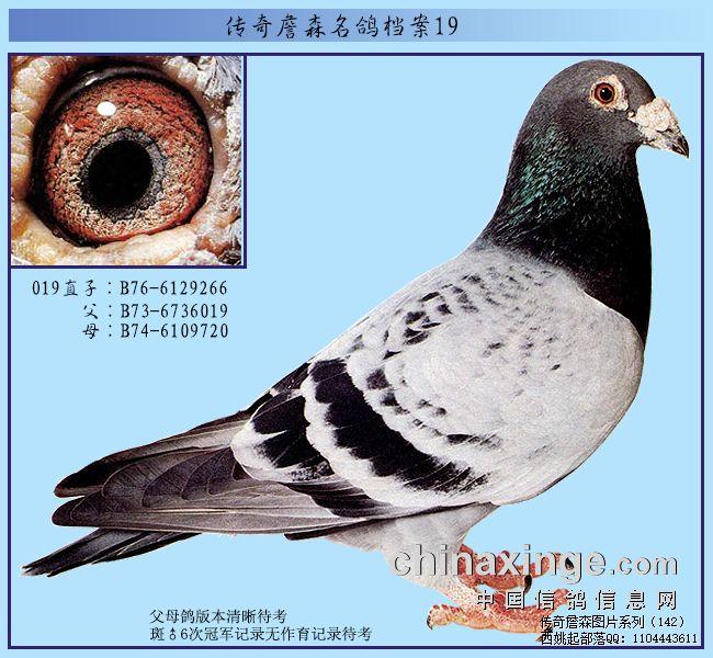 传奇詹森名鸽特征:粉红眼腊膜