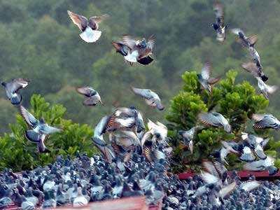 祝贺:辽宁16家公棚收鸽超过万羽!