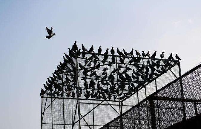 再叙赛鸽市场竞争――石家庄鸽界改革见成效