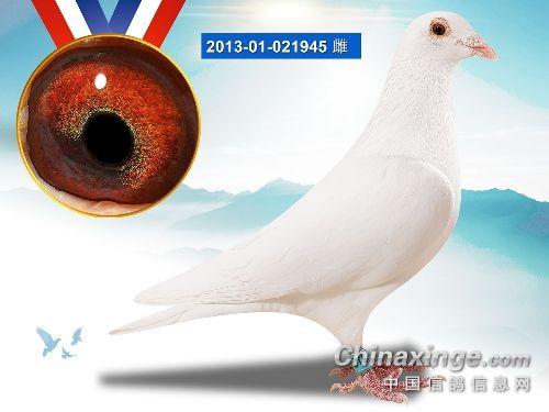 白色鸽子真不适合参赛吗?