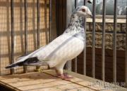 白花鸽是绣花枕头?拿鸽王冠军的白花可不少