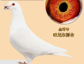 吐尼尔白鸽 漂亮又实战