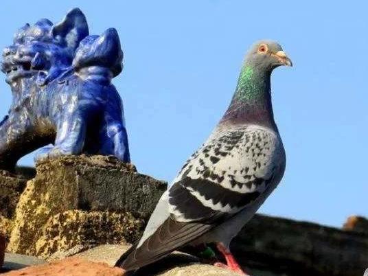 鸽子这奇葩的遗传
