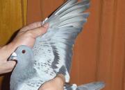 如何让鸽子换羽质量好 发病少?