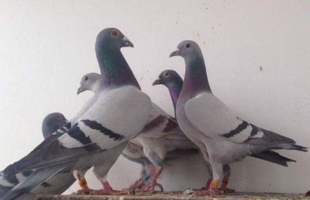 选对种鸽交对朋友 遇到贵人守着冠军