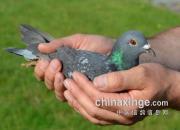 六国争霸!欧洲波品纳长距离次日见鸽