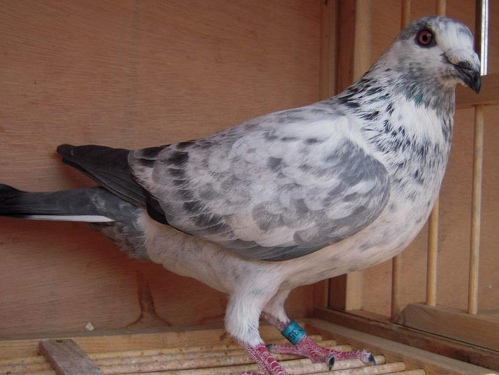 羽色能代表血统?