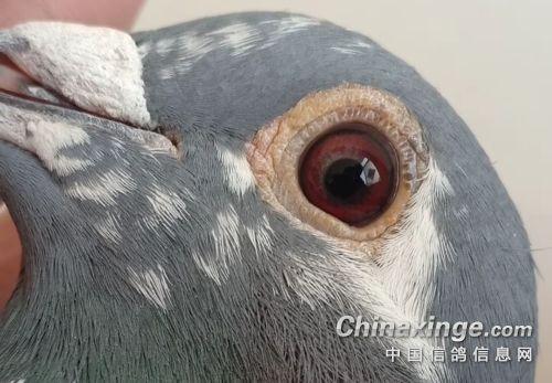 平原鸽打云贵川公棚 好鸽到哪儿都能飞
