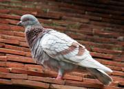 养鸽子很上瘾 两度被清棚