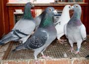 莆田鸽友:那些幼年与鸽结下的缘