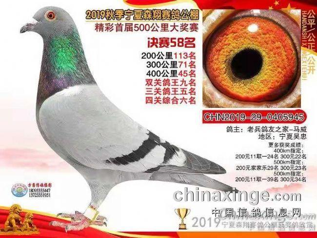 中国赛鸽怎么和欧洲赛鸽比?