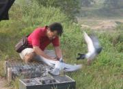 高温天训放运输 如何确保赛鸽健康安全?