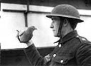 厉害了我的鸽!战争年代军鸽的传奇事迹