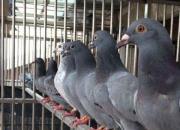 小人物大视野:皖西北三位鸽友的引种故事