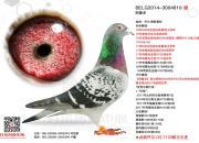 开尔赛鸽2020欧洲竞翔数据一览