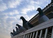 有多少人真懂鸽子?鸽大师与鸽大妈谁厉害?