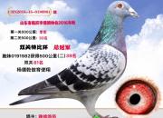 合伙养鸽打公棚 鸽子却被偷偷卖了