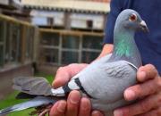鸽病:防重于治 综合防控