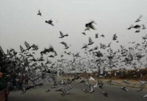 厉害了!上海国家赛千公里当日归巢两羽