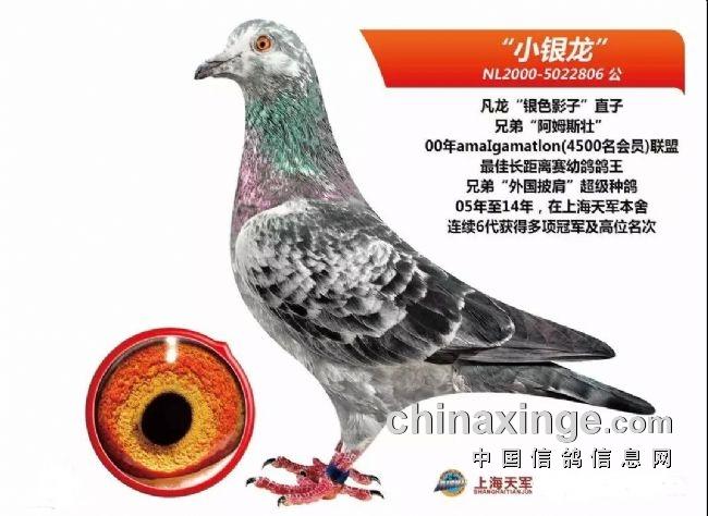 一只麒麟花立棚的战神家族――上海天军