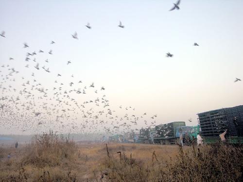 中国远程赛促进会千公里联翔11月30日总集鸽