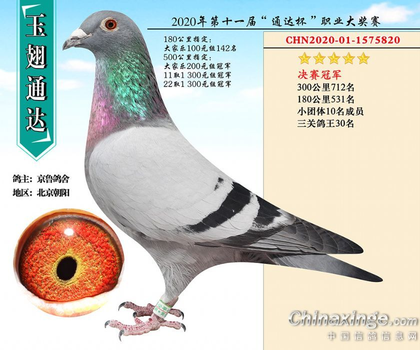 归巢快又猛 北京玉翅通达真材实料冠军鸽
